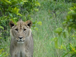 My favorite picture...a young male lion outside camp. We were extremely lucky to find this small pack!